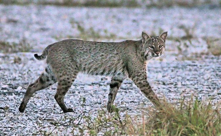 bobcat acadia national park