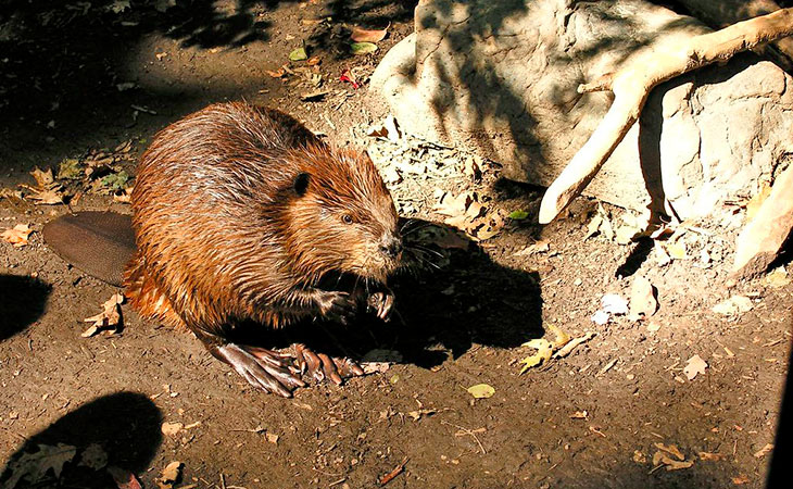 American beaver acadia national park