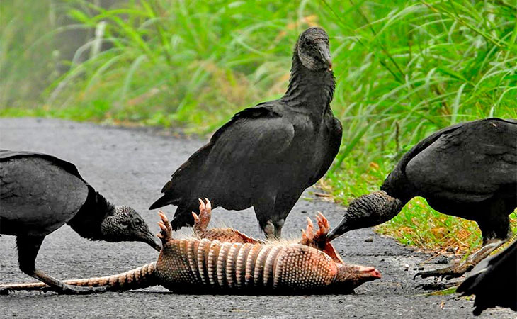 black vultures and carcass