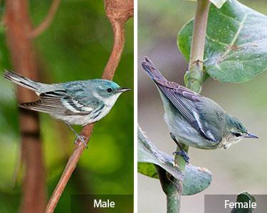 cerulean-warbler