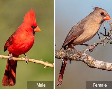 northern_cardinal