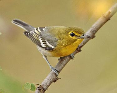 yellow-throated-vireo