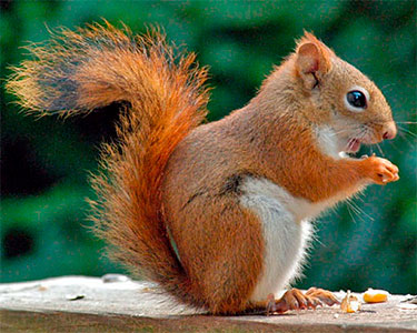 american_red_squirrel