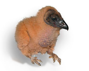 chick black vulture