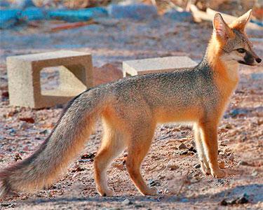 common_gray_fox