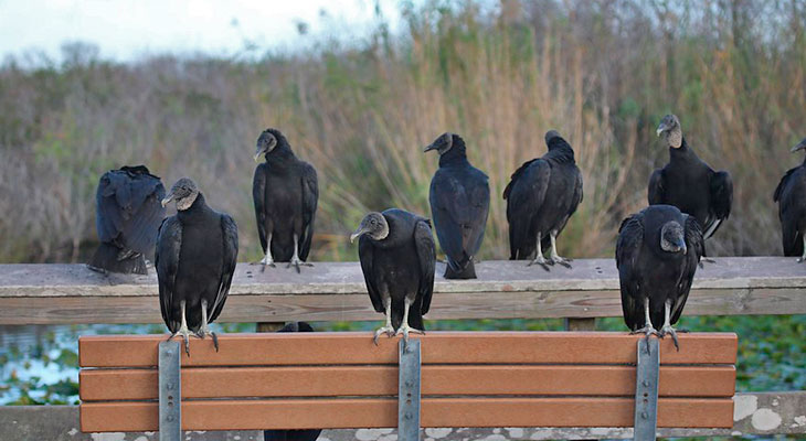 black vulture family life