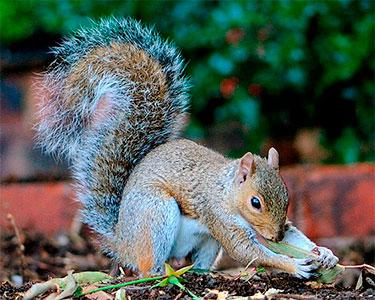 eastern_gray_squirrel