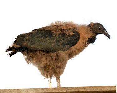 juvenile_black-vulture