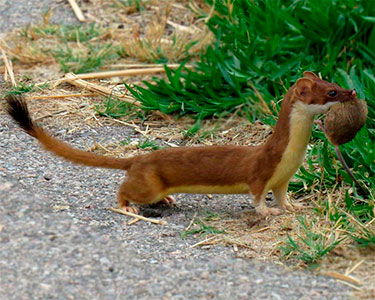long-tailed_weasel
