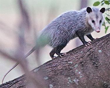 virginia-possum