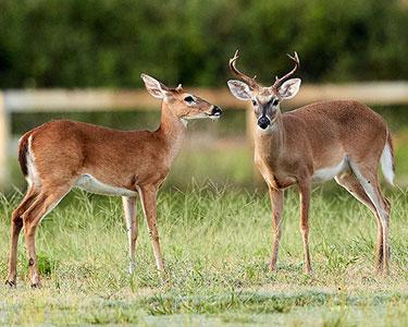 white-tailed_deer