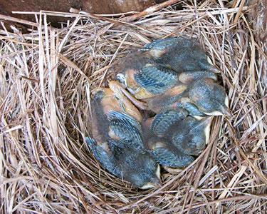 bluebird parental care