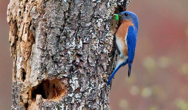 bluebirds roosting
