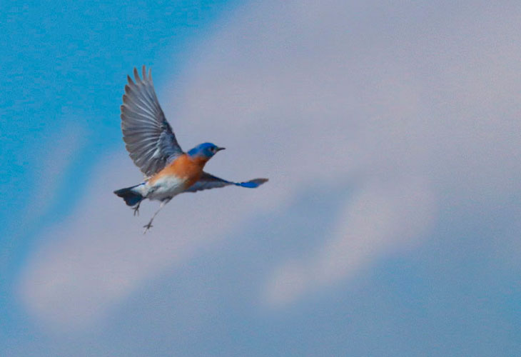 do eastern bluebirds migrate for the winter
