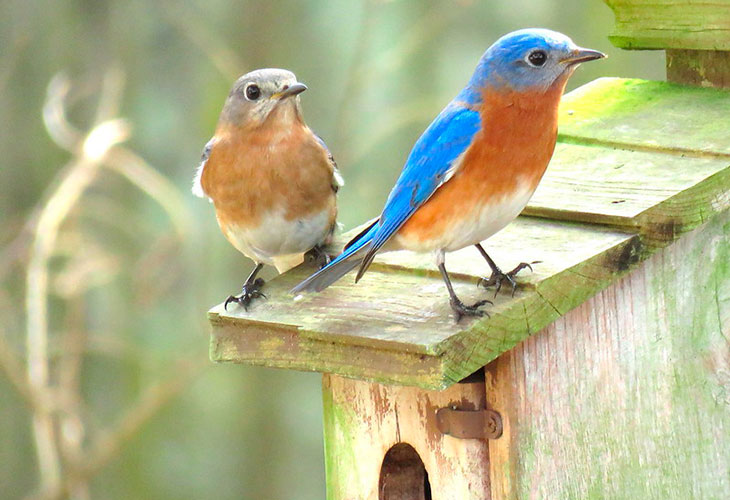 do eastern bluebirds really mare for life