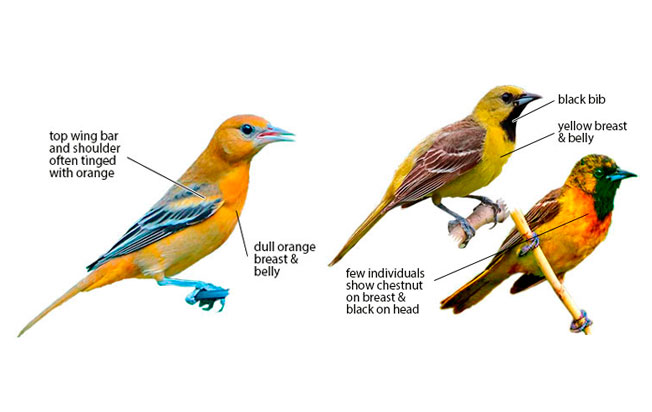 differences-identification-baltimore-orchard-oriole