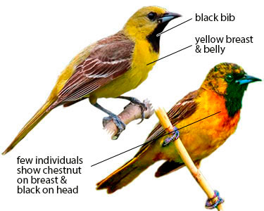 differences between orioles