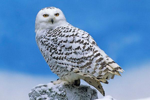 snowy owl web cam