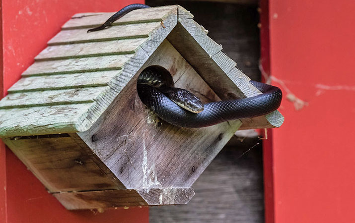 snakes-that-eat-eggs-an-baby-birds