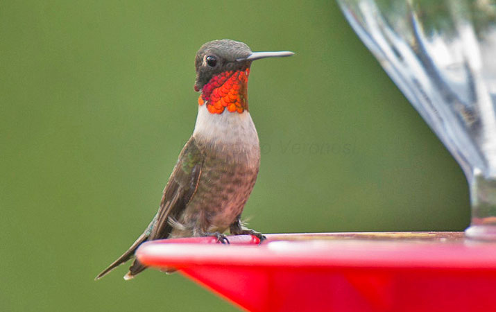 when-to-expect-hummingbirds-eastern-north-america