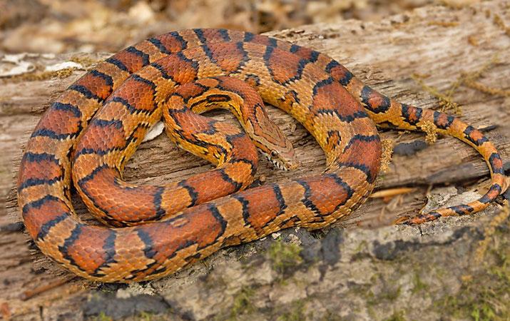 corn snakes raid bird nests