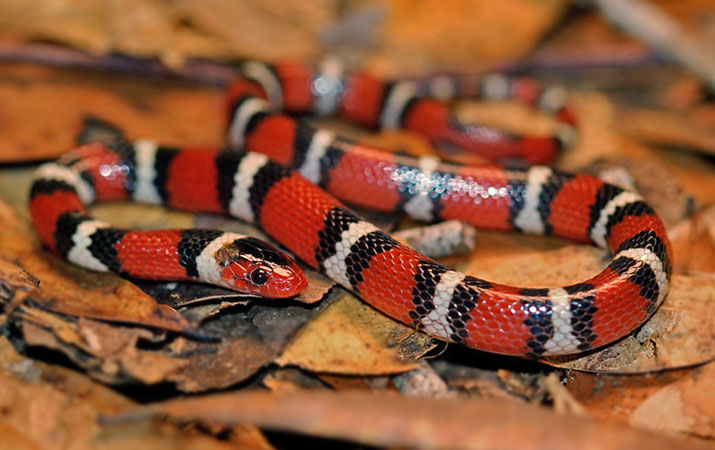 scarlet king snake rarely eat eggs and baby birds