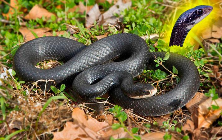black racer snake occasionally raids bird nests