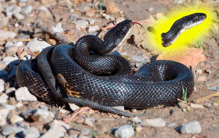 rat snake eats bird eggs and chicks