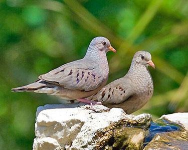 common_ground-dove