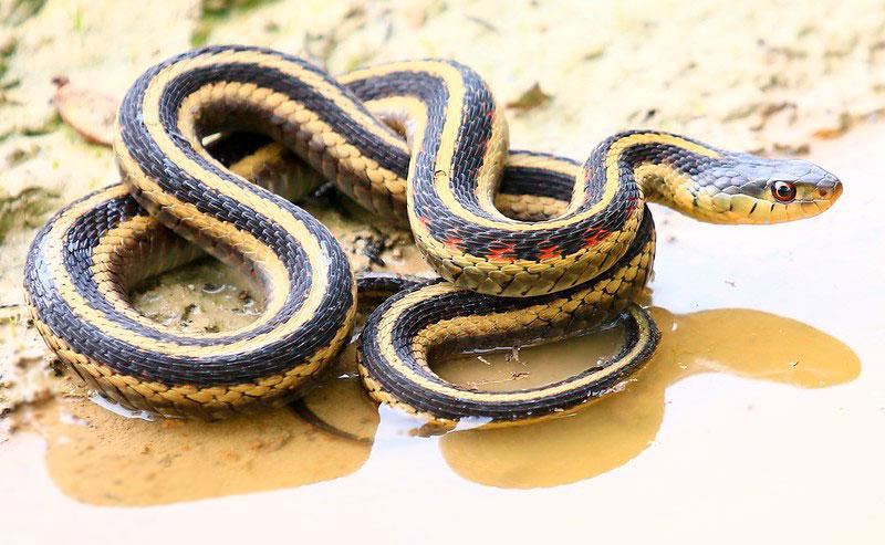 garter snake are occasional bird nest raider