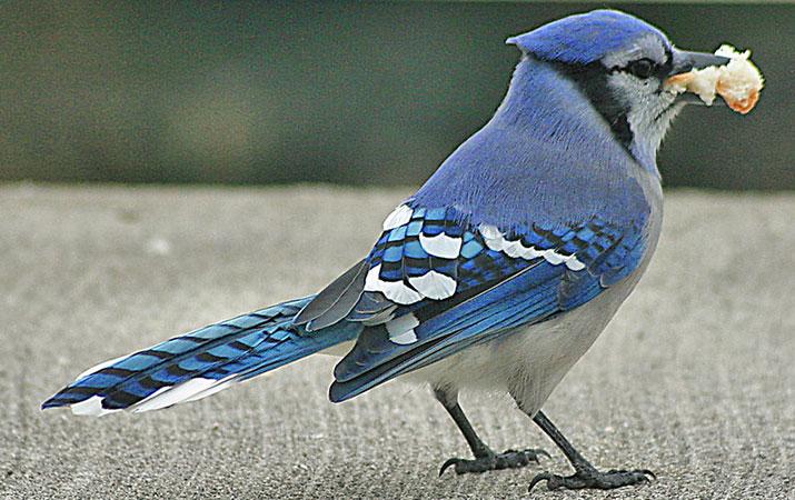 can i feed birds bread