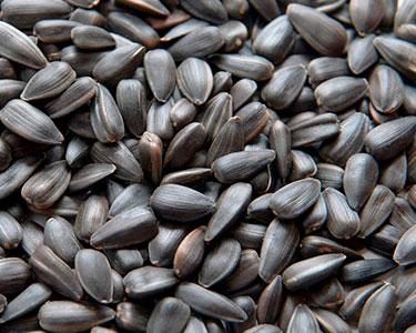 2nd best food for birds black oils sunflower seed