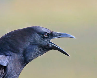 American crow vocalizations