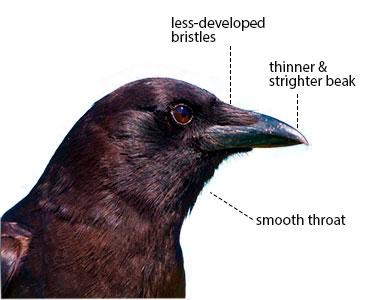 crow versus raven beak