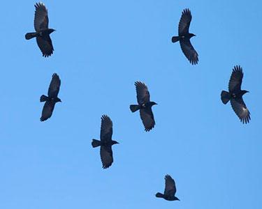 flock of American crows