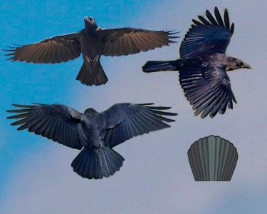 raven versus clow tail