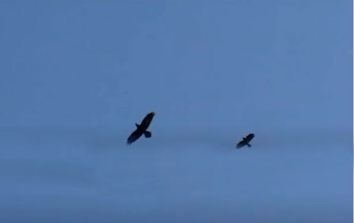 raven and crow size in flight
