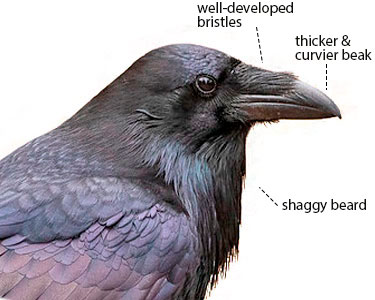 raven versus crow beak