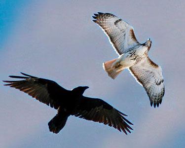 raven versus crown size