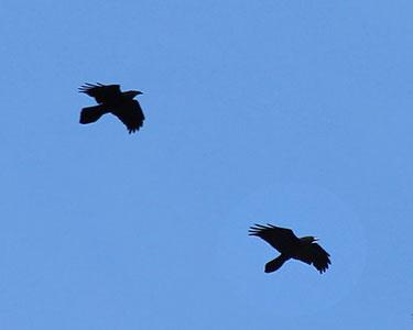 single pair of ravens