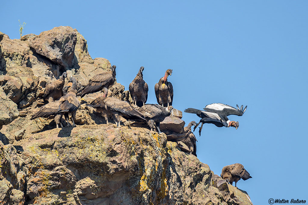 flock andean condor