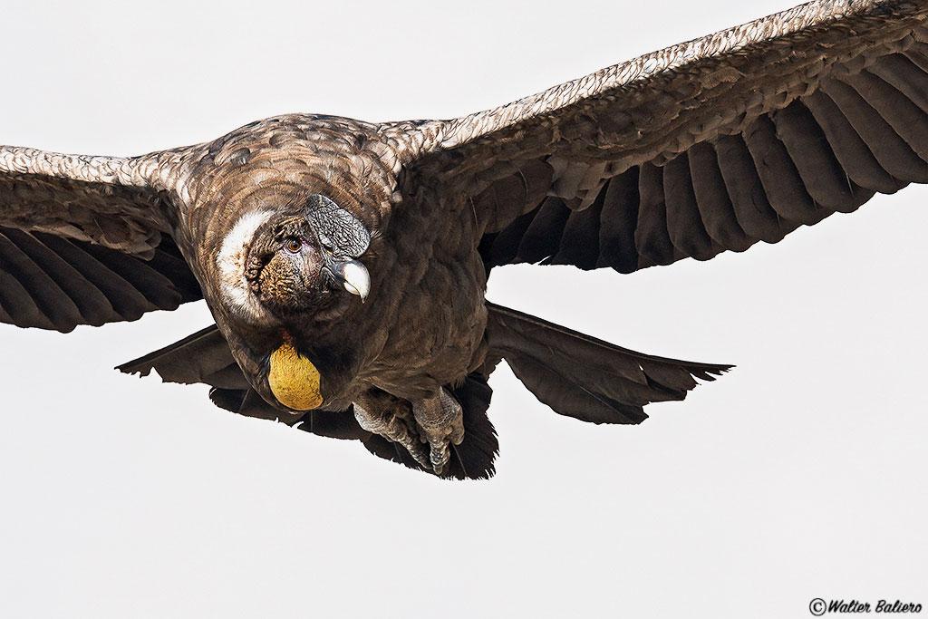 immature andean condor