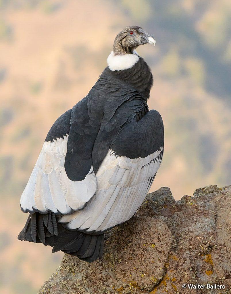 adult female andean condor