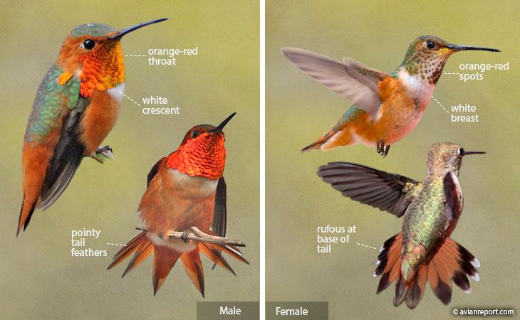 allen's hummingbird identification