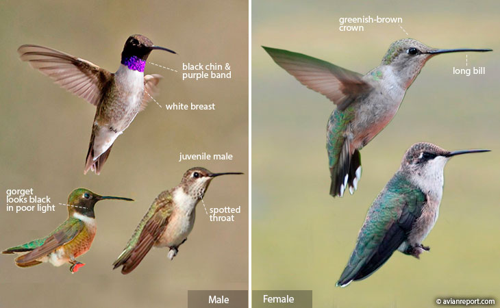 black-chinned hummingbird identification