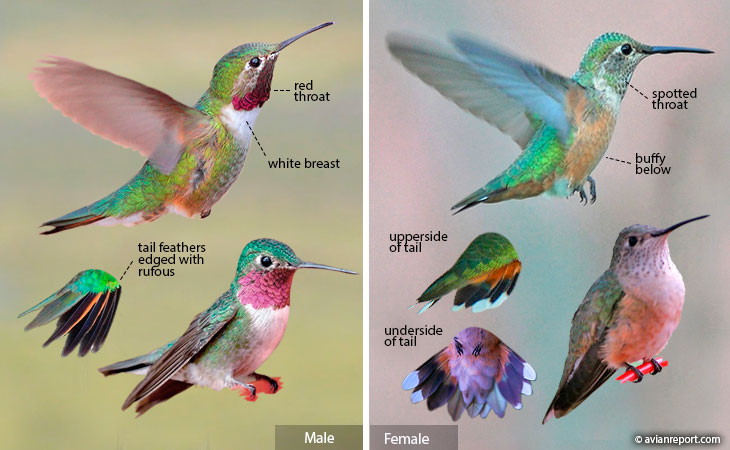 broad-tailed hummingbird identification