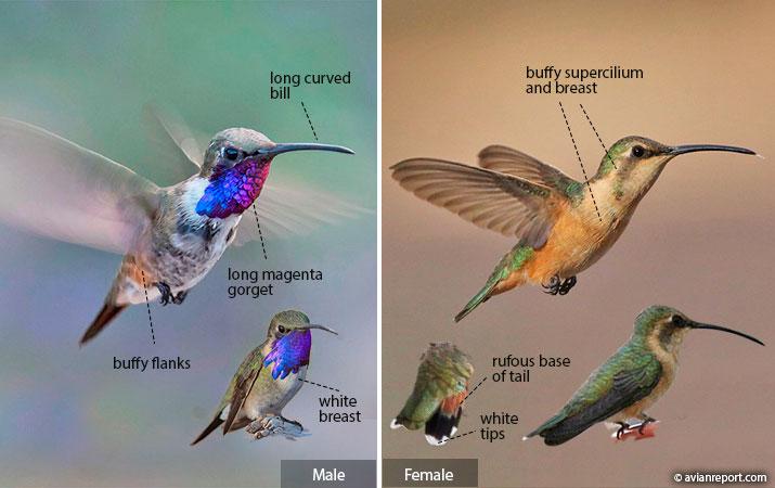 hummingbird identification