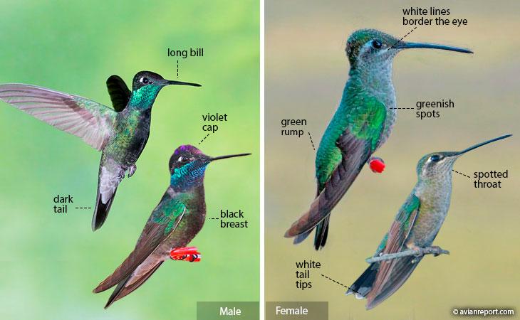 rivoli's hummingbird identification