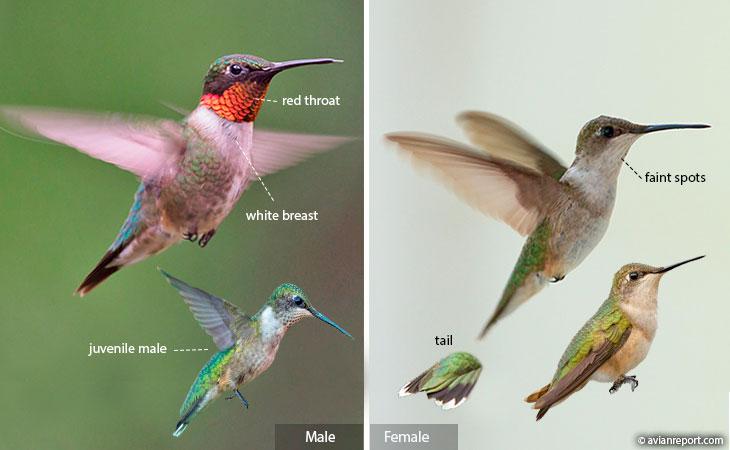 ruby-throated hummingbird identification