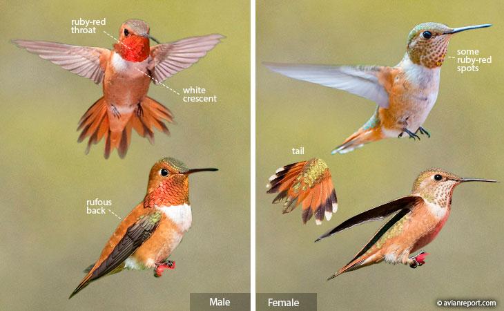rufous hummingbird identification